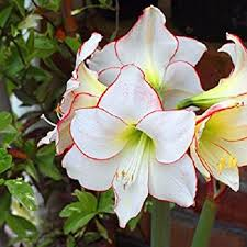 amaryllis flowers potted flowers white amaryllis bulbs hippeastrum