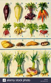 Green Root Vegetable - 10 best root vegetables project images on pinterest root