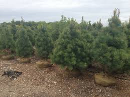 pine trees for sale in indiana buy pine trees hoosier home