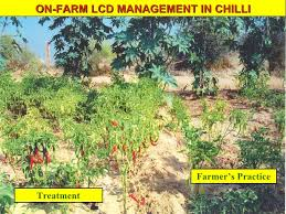 Green Chilli Plant Diseases - disease protection biological control indigenous knowledge arid ar u2026