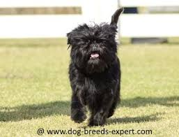affenpinscher brown affenpinscher everything you want to know about the monkey dog