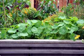 raised garden bed with flowers and vegetable plants royalty free