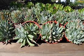 list of california native plants ucr today fall plant sale set for oct 22 and 23