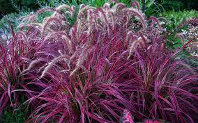 ornamental grass for sale fort myers