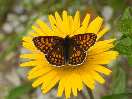 Butterfly Flower Free Photo Butterfly Flower Insect Nature Free Image On