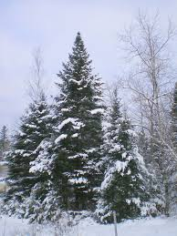 nh big tree of the month spruce cooperative extension