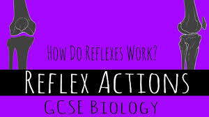 How Does A Reflex Arc Work In A Nervous System Reflex Actions How Do Reflexes Work Gcse Biology Youtube