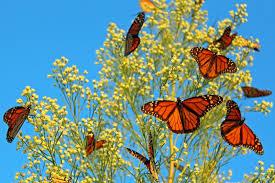monarch migration peaks
