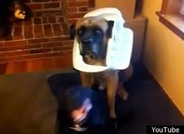 boxer dog youtube watch guess which dog broke into the garbage can dog english