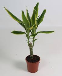 buy house plants now dracaena u0027golden coast u0027 bakker com