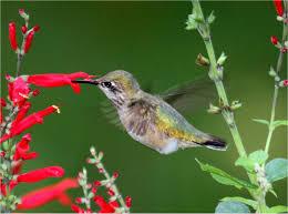 Hummingbird Plant Pennsylvania U0027s Autumn Jewels Pennsylvania Ebird