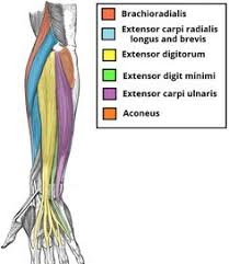 Human Anatomy Muscle Muscles Chart Helpful To Let Me See Which Muscles Are Hurting