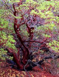 manzanita trees never again by adamus california coast lilies
