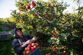 apples remain king of the crops local yakimaherald com