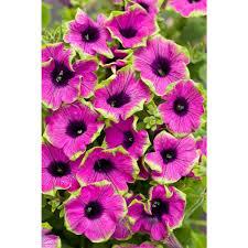proven winners supertunia pretty much picasso petunia live plant