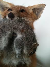Taxidermy Fox Meme - diamond tooth taxidermy