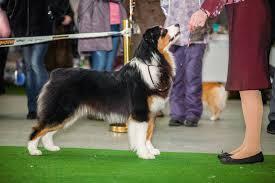 characteristics of a australian shepherd australian shepherd dog breed information continental kennel club