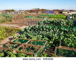 well tended allotment vegetable garden in summer stock photo