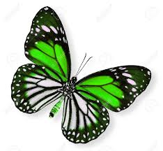 beautiful green butterfly white tiger stock photo picture and