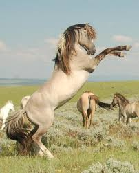 mustang horse brislawn spanish barb mustang stallion god made the horse from