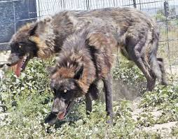 belgian sheepdog wolf mix wolfdog puppies for sale pets4you com
