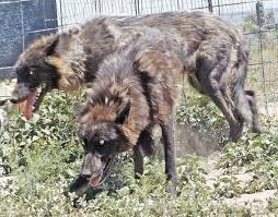 affenpinscher for sale ohio wolfdog puppies for sale pets4you com