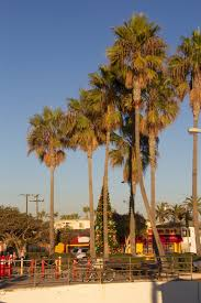 file palm trees and christmas tree near seal beach pier jpg