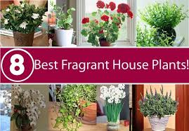 Fragrant Indoor Plants | best 8 fragrant house plants