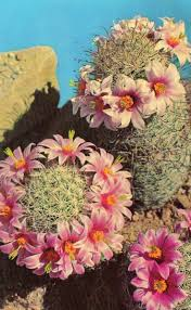 Plants Blooming Best 25 Cactus Flower Ideas Only On Pinterest Desert Flowers