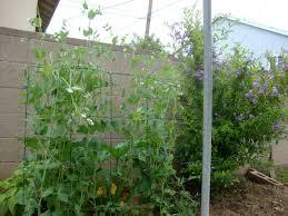 thyme to garden now sugar snap peas in california vs indiana