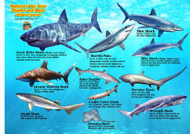Shark Map Of The World by Baja Sea Of Cortez And The Pacific Islands Diving With Franko
