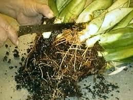 Vegetative Propagation By Roots - vegetative propagation methods