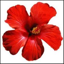 jamaica flower the versatility of hibiscus rosa sinensis hibiscus science