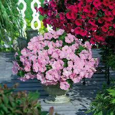blumen fã r balkon wunderschön die rosane petunie oder obi pflanzen für beet