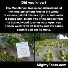 the manchineel tree nature random facts