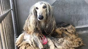 afghan hound puppies youtube seized afghan hounds cleaned up ready for adoption cbs los angeles