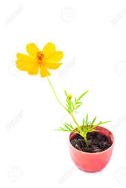 small flower pot cosmos flower stalk stick to soil in small flower pot on white