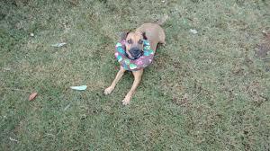 bichon frise golf head cover testimonials puppy bumpers