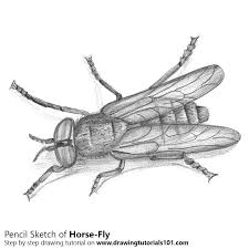 horse fly pencil drawing how to sketch horse fly using pencils