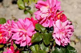 Fragrant Plants Rosa Miss Behavin Cultivar Of Floribunda Rose With Bushy Plants