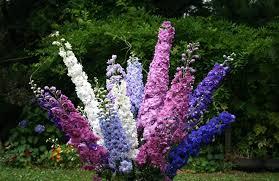 delphinium flowers 0 2g approx 100 delphinium seeds delphinium cultorum