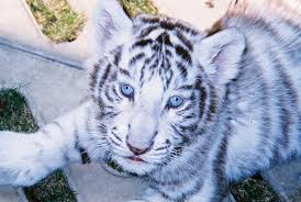 baby white tiger in blue stock photo image of white