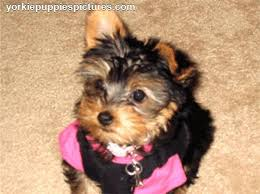 types of yorkie haircuts pictures yorkie haircuts
