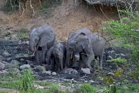 a voice for elephants u2013 mini blogs u2013 national geographic society