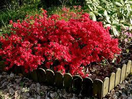 arbuste feuillage pourpre persistant le temps des fleurs les fleurs de chez nous au fil du temps je