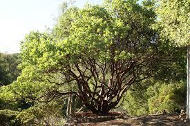 manzanita tree arctostaphylos manzanita dr hurd landscape san francisco