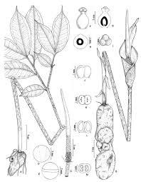 amorphophallus nicolsonianus sivad a tuber with leaf b tuber
