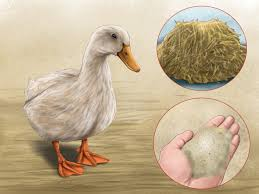 3 ways to attract ducks wikihow