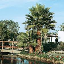 mexican fan palm growth rate shop 14 ft mexican fan palm feature tree l3048 at lowes com