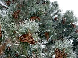 a frosted pine tree and cones at the tahoe donner cross country